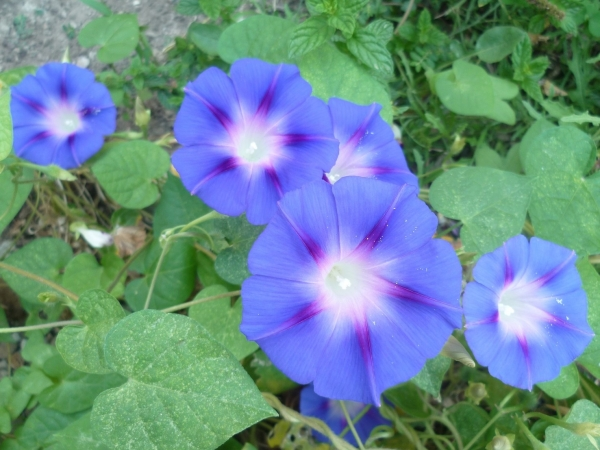 jardin,fleurs,liseron,ipomée,volubilis,jardinage,été