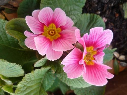 jardin,fleurs,hiver,printemps,jardinage,primevères