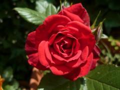 poésie,poèmes,poète,écriture,saison,jardin,été,roses,plantations