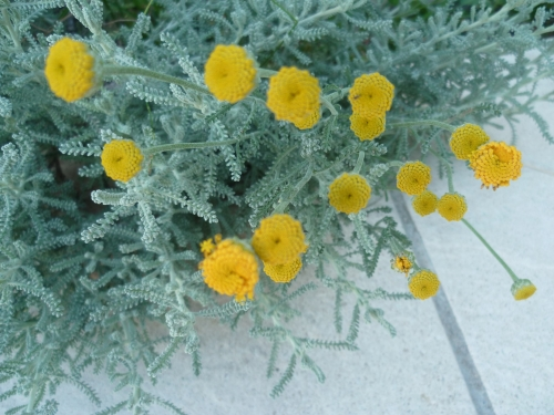 fleurs,plantes,printemps,menthe,rhubarbe,jardinage