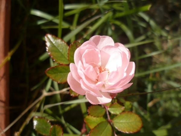 P1070869 rose 110119 bon.JPG
