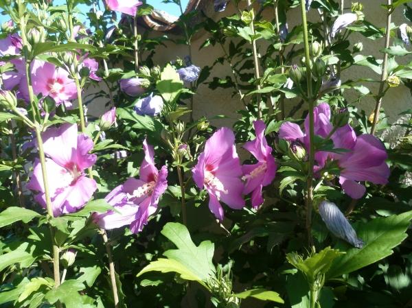 fleurs,plantes,pétunias,hibiscus,fruits,figues,été,saison,chaleur