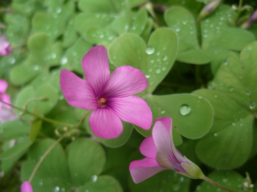 jardinage,plantations,saisons,novembre,jardin,loisirs,journal intime,sud,midi,oxalis,bégonia,romarin,bruyère