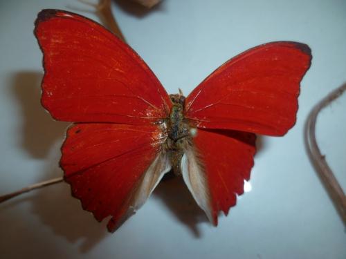 papillons,nature,loisirs,collections,souvenirs,saison,été,jardin