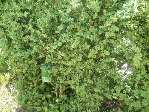 jardin,plantes,gazon,herbes,piège pyrale du buis,fleurs,masque,peinture,broyeur végétaux