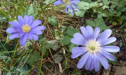 saison,printemps,loisirs,jardin,fleurs,jardinage,anémones