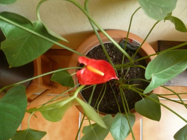 fleur,plante,plante d'appartement,jardin,maison,culture,terre de bruyère
