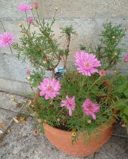 jardin,fleurs,plantes,iris,anthémis,pétunia,loisirs,jardinage