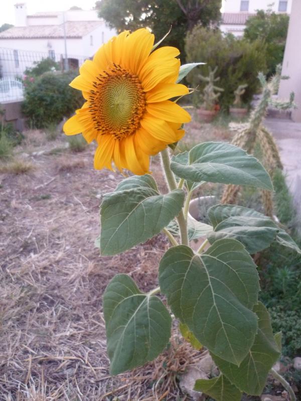 jardin,fleurs,jardinage,été,tournesol,graines,loisirs