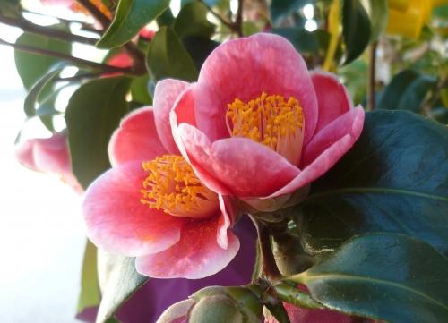 saison,jardin,fleurs,soleil,janvier
