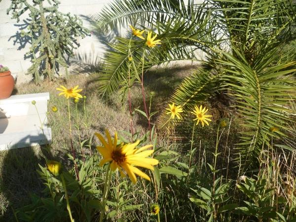 jardin,fleurs,topinambours,saison,automne,culture,nature,jardinage.