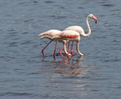 flamand rose.jpg