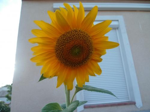 jardin,saison,été,plante,semis,tournesol