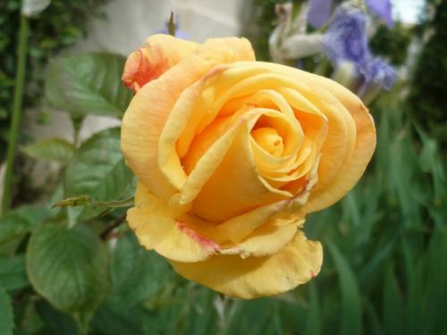 jardin,jardinage,fleurs,plantes,roses,bouquets