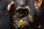 chimpanzés.jpg