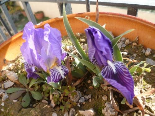 fleurs,iris,primevères,jardin,jardinage