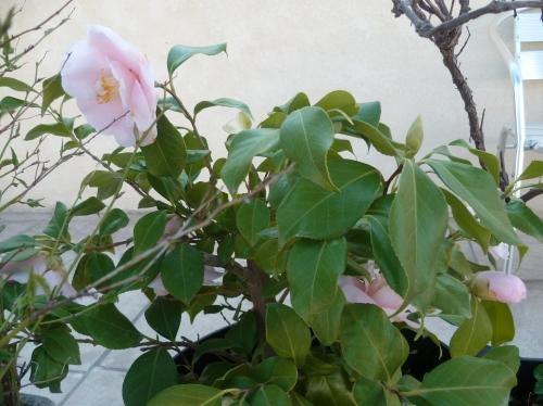jardin,jardinage,loisirs,herbe,fleurs,tondre,palmier,camélia,muscaris