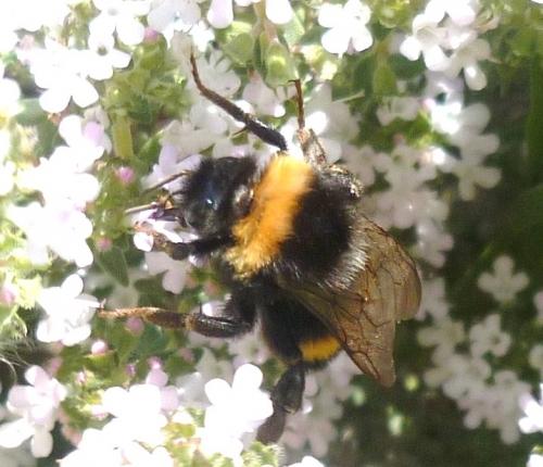 jardin,saison,thym,insectes,printemps