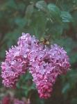 au-lilas-fleur-jacinthe.jpg