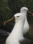 albatros à bec.jpg