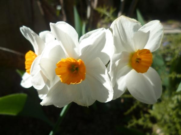 fleurs, jardin, saison, mars, printemps, jardinage, blog