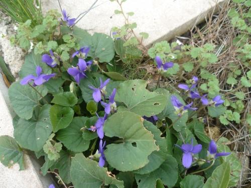 violette,violette des bois,vivace,jardin,jardinage,février,avril
