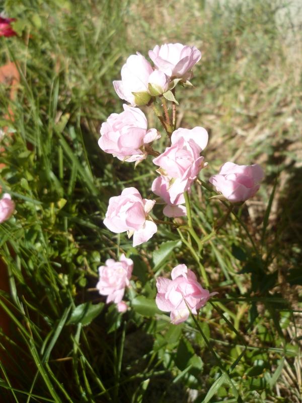 Roses, jardin, jardinage, printemps, fleurs, loisirs