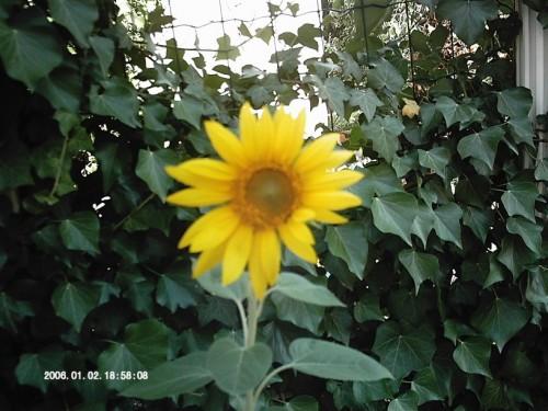tournesol 5 juillet 09 dim 002 (816 x 612).jpg