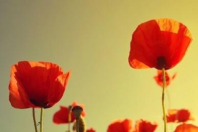 coquelicots,printemps,pétales,rouges,soleil,jardin,plantes,fleurs