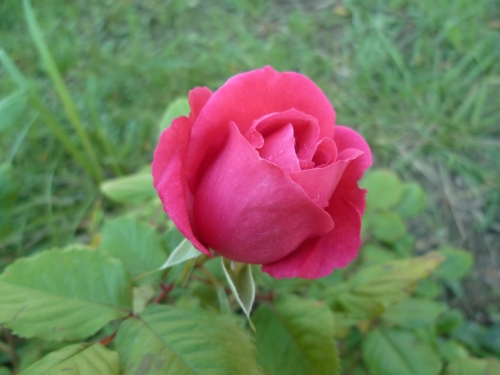 rose,jardin,jardinage,mai,rose jaune,rose rose,rose rouge,parfum