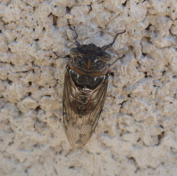 insectes,cigales,sud,photo,saison,été,chaleur