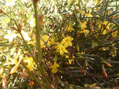 jardin,jasmin,hiver,jaune,saison,janvier,jardinage
