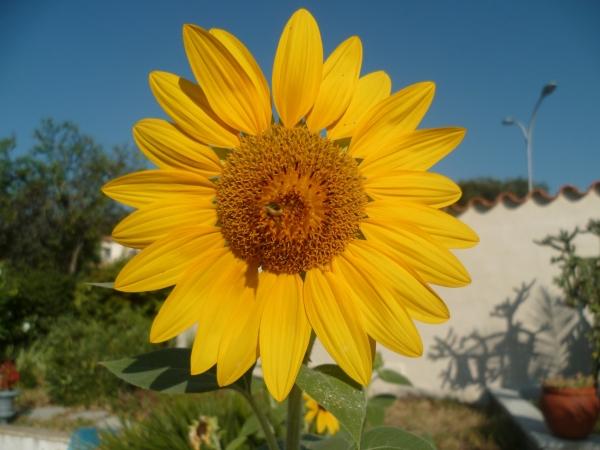fleurs,plantes,jardin,tournesol,été,soleil,ciel bleu,août